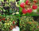 Плодовые кустарники и саженцы