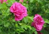 Роза морщинистая или роза ругоза