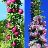 Яблоня колоновидная  красноцветковая