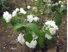 Жасмин садовый (Чубушник) Вёджинэл