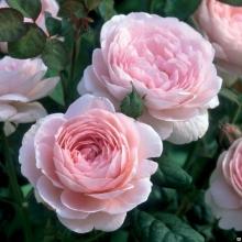 Роза английская парковая Квин ов Свиден