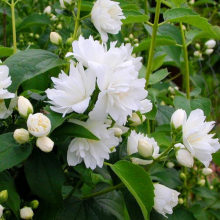 Жасмин садовый (Чубушник) Джирандоль