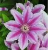 Клематис крупноцветковый Гиренас