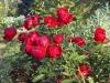 Роза миниатюрная Руд Морсдаг