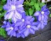Клематис крупноцветковый Х. Ф. Янг