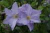 Клематис крупноцветковый Блекитни Аниол