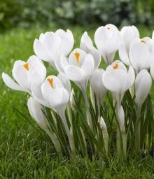 Крокус крупноцветковый Жанна д´Арк