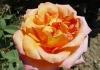 Роза флорибунда Реми Мартин