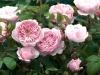 Роза английская парковая Элеганисимо