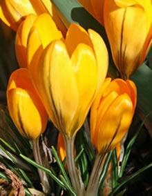 Крокус крупноцветковый Желтый
