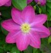 Клематис крупноцветковый Ноктюрн (капер)