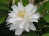 Клематис крупноцветковый Сильвия Денни (капер)