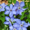 Клематис крупноцветковый Блю Пиллар