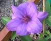Клематис крупноцветковый Габриэль Нарутович