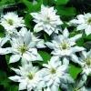 Клематис крупноцветковый Мать Сиедлиска
