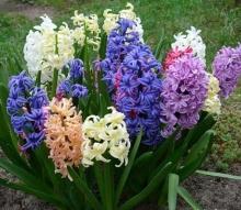 Гиацинт мультицветковый смесь