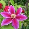 Клематис крупноцветковый Барбара Диблей