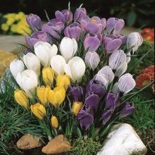 Крокусы крупноцветковые Смесь окрасок