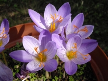 Крокус крупноцветковый Конгуерор