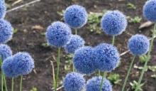Лук Голубой