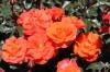 Роза флорибунда Оринж Пассион