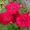 Роза канадская парковая Николас