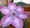 Клематис крупноцветковый Бешчади