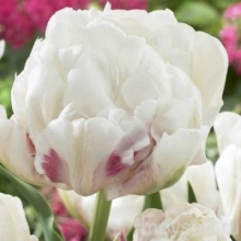 Тюльпан Айс Уандер (группа Махровые поздние тюльпаны)