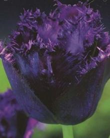 Тюльпан Бахромчатый Кубан Найт
