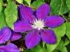 Клематис крупноцветковый  Вэгабонд