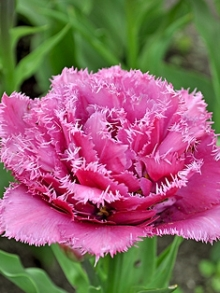 Тюльпан Бахромчатый Мэтчпойнт
