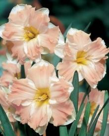 Нарцисс с расщепленной коронкой Палмарес