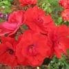 Роза флорибунда Паприка