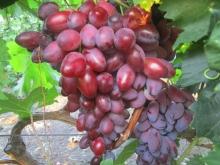 Виноград плодовый Ася