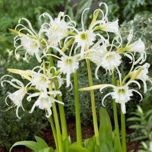 Гименокаллис фесталис (Исмена) или паучья лилия