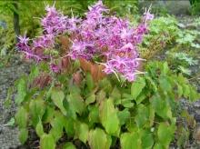 Горянка крупноцветковая Лилафи