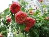 Роза плетистая Папи Дельбар