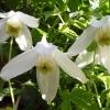 Клематис ботанический Рига
