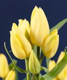 Тюльпан Многоцветковый Х.Д.Геншер
