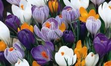 Крокус крупноцветковый Смесь окрасок
