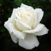 Роза флорибунда Силвер Вэддинг Селебрейшнм