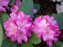 Рододендрон якушиманский Блюретта