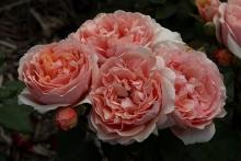 Роза Гийо парковаяя Поль Бокюз