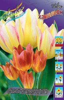 Многоцветковый тюльпан Антуанетта