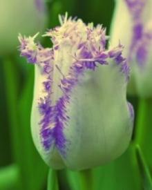 Тюльпан Бахромчатый Ариа Кард