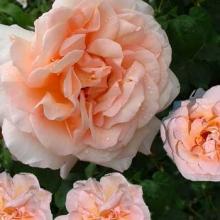 Роза парковая Скул Гёл