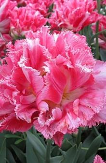 Тюльпан Бахромчатый Криспион Свит