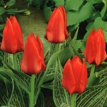 Тюльпан Грейга Али Баба