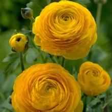 Лютик желтый (Ranunculus Yellow)