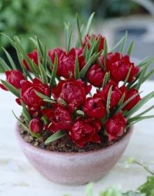 Тюльпан Ботанический Тет а Тет